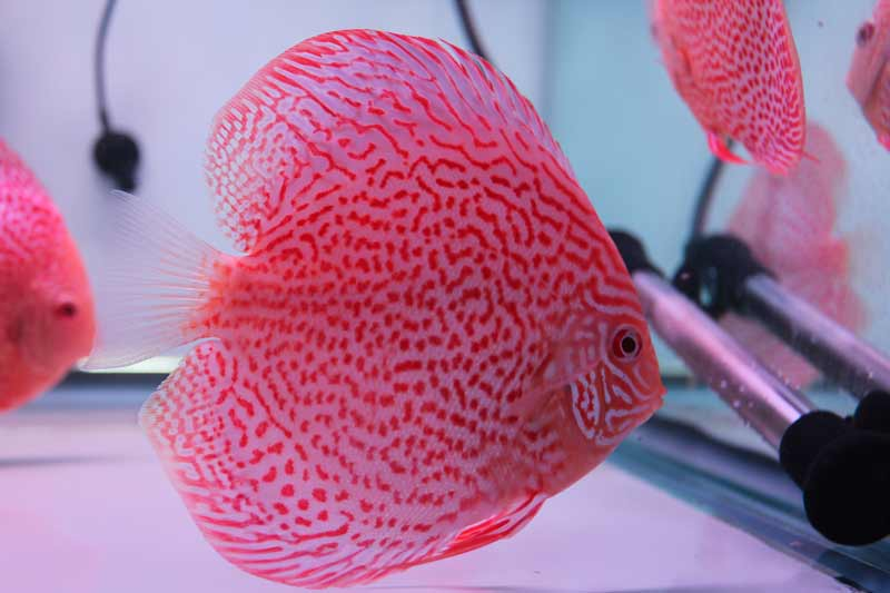 how to clean a discus